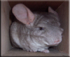 A chinchilla at Cosy Critters